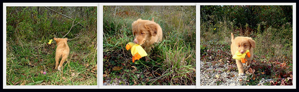 //www.gundogmag.com/files/gun-dogs-favorite-reader-puppy-photos/barbara-blauvelt.jpg