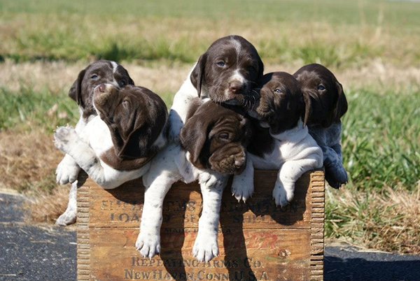 //www.gundogmag.com/files/gun-dogs-favorite-reader-puppy-photos/dale-usher.jpg
