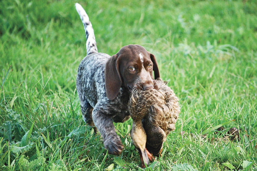 //www.gundogmag.com/files/puppies-gun-dogs-2014-puppy-gallery/australia_gerty_13.jpg