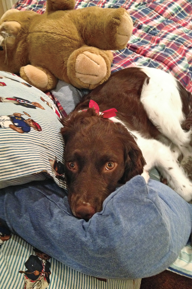 //www.gundogmag.com/files/puppies-gun-dogs-2014-puppy-gallery/brittany_abbey_19.jpg