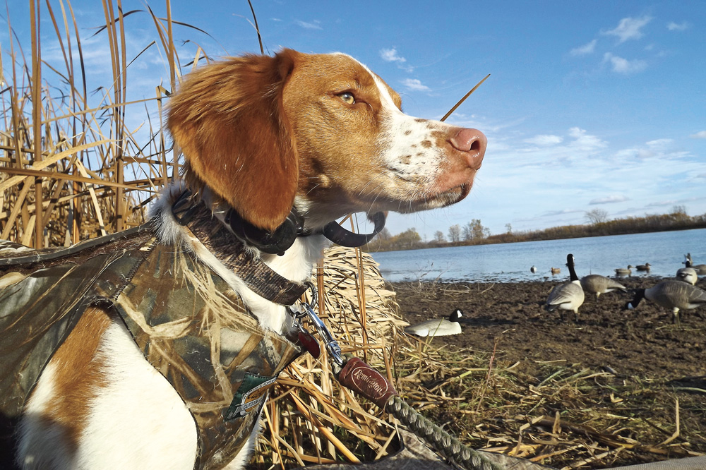 //www.gundogmag.com/files/puppies-gun-dogs-2014-puppy-gallery/brittany_bullet_12.jpg