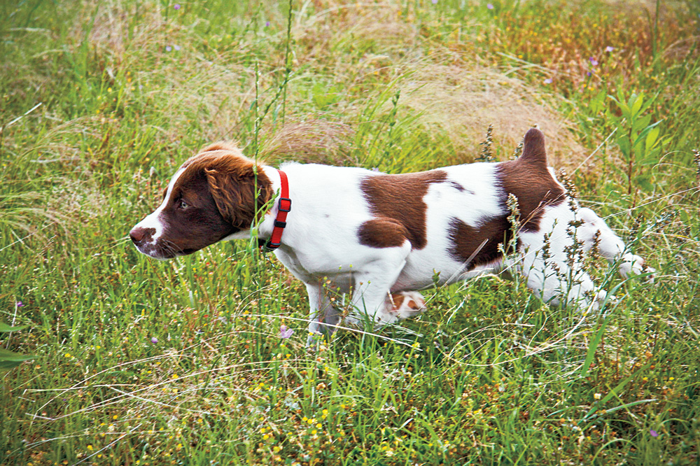 //www.gundogmag.com/files/puppies-gun-dogs-2014-puppy-gallery/brittany_valentine_35.jpg