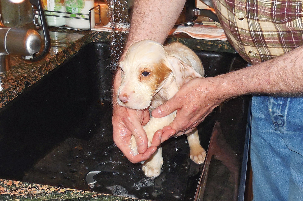 //www.gundogmag.com/files/puppies-gun-dogs-2014-puppy-gallery/english_setter_cody_8.jpg