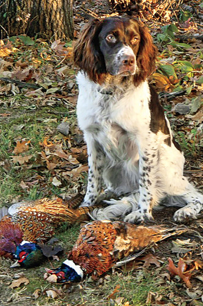 //www.gundogmag.com/files/puppies-gun-dogs-2014-puppy-gallery/french_spaniel_dakota_23.jpg