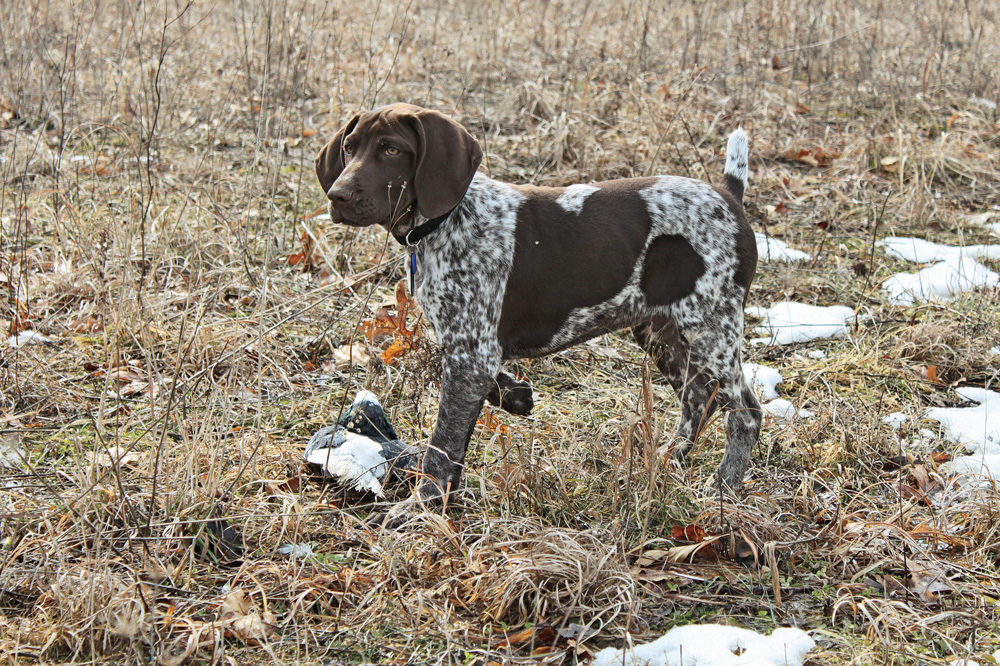 //www.gundogmag.com/files/puppies-gun-dogs-2014-puppy-gallery/german_shorthair_fred_5.jpg