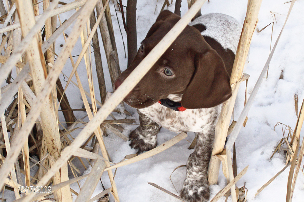 //www.gundogmag.com/files/puppies-gun-dogs-2014-puppy-gallery/german_shorthair_gauge_30.jpg