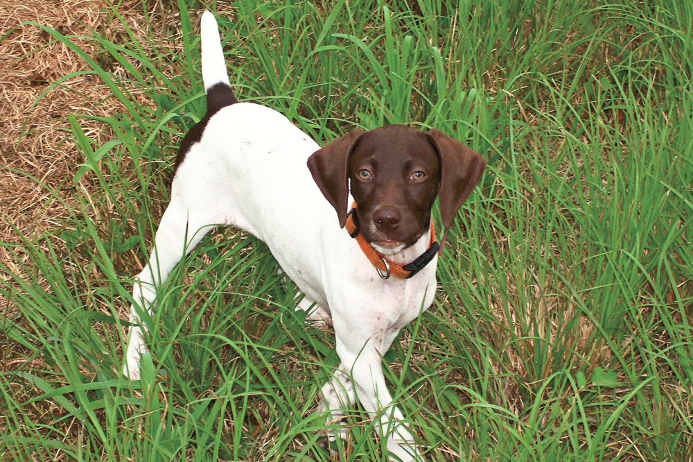 //www.gundogmag.com/files/puppies-gun-dogs-2014-puppy-gallery/german_shorthair_karli_32.jpg