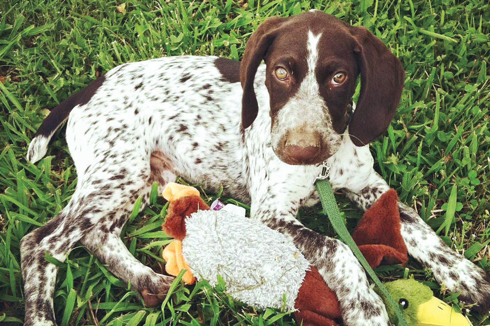 //www.gundogmag.com/files/puppies-gun-dogs-2014-puppy-gallery/german_shorthaired_sawyer_3.jpg