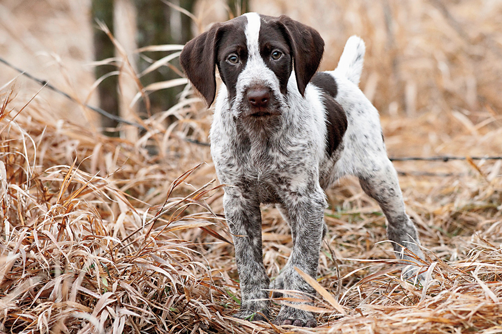 //www.gundogmag.com/files/puppies-gun-dogs-2014-puppy-gallery/german_wirehaired_coop_34.jpg