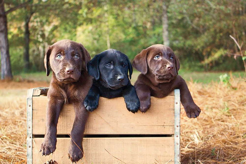//www.gundogmag.com/files/puppies-gun-dogs-2014-puppy-gallery/labrador_retrievers_1.jpg