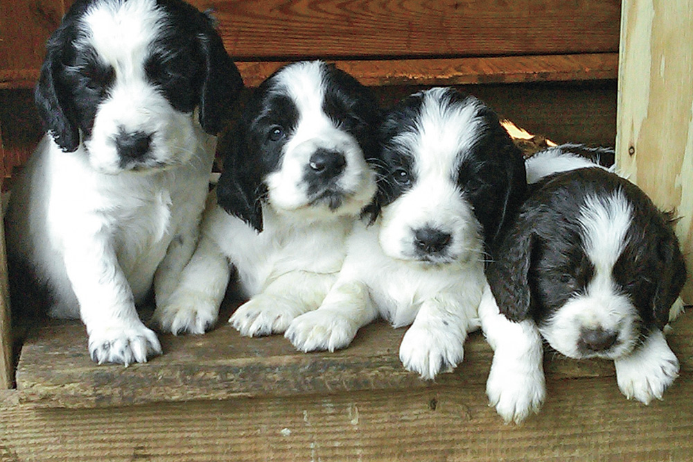 //www.gundogmag.com/files/puppies-gun-dogs-2014-puppy-gallery/litter_4.jpg