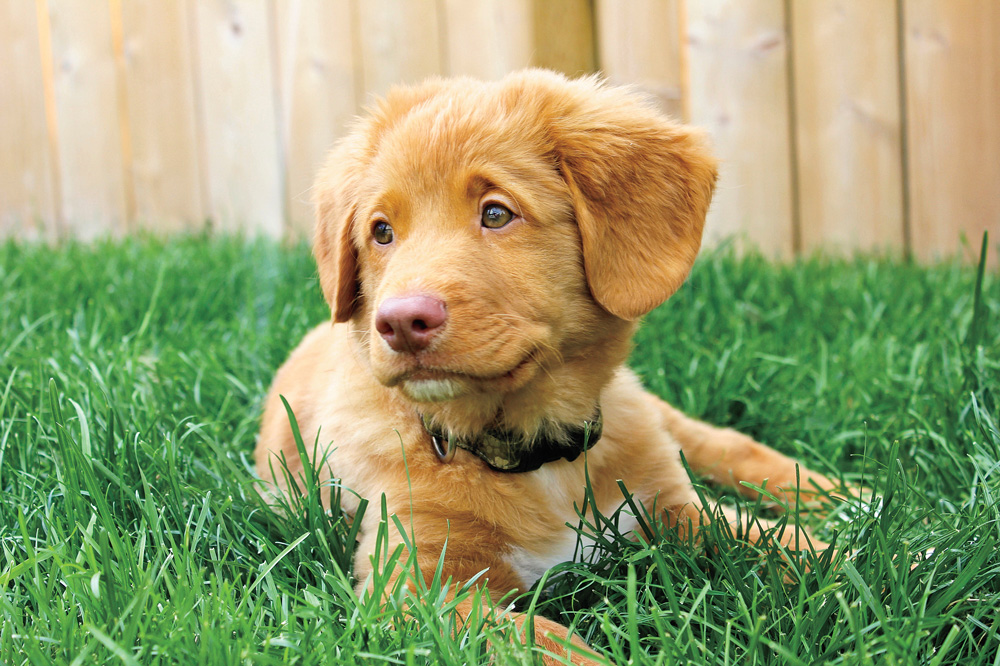 //www.gundogmag.com/files/puppies-gun-dogs-2014-puppy-gallery/nova_scotia_duck_retriever_leo_11.jpg