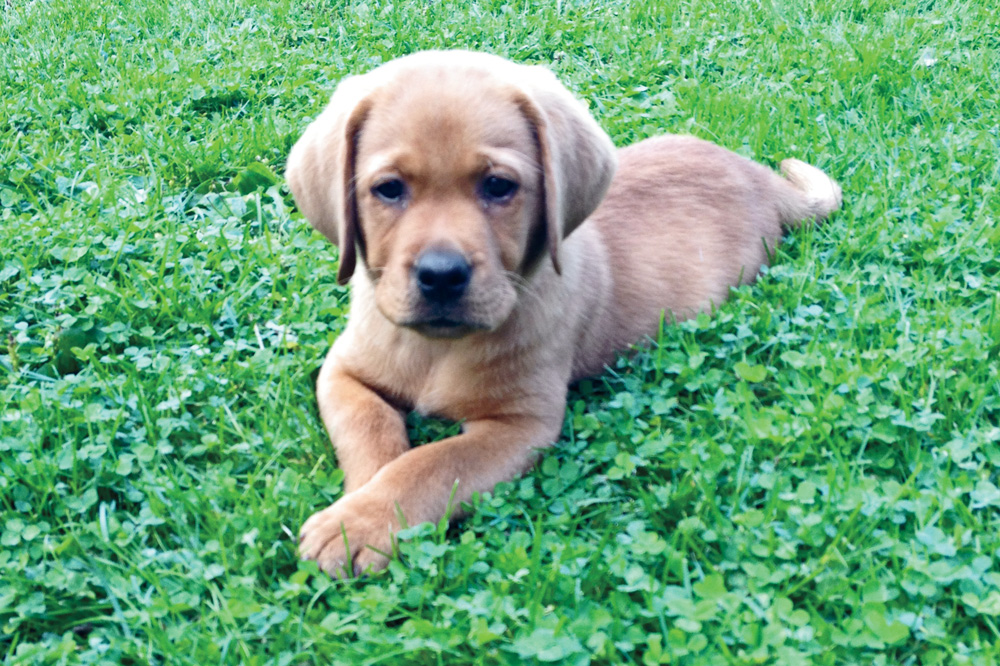 //www.gundogmag.com/files/puppies-gun-dogs-2014-puppy-gallery/red_labrador_life_36.jpg