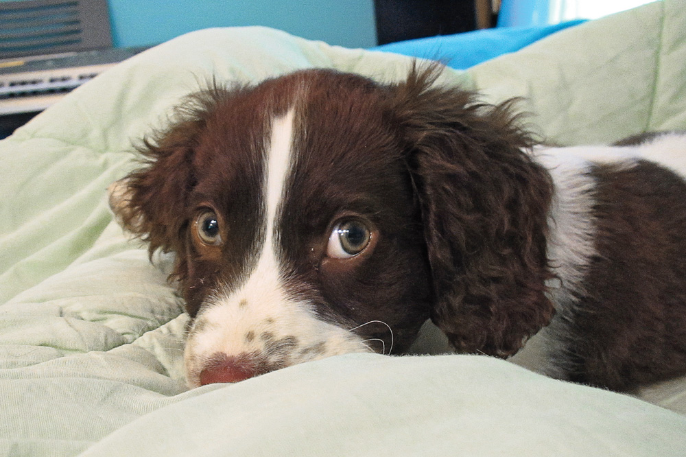 //www.gundogmag.com/files/puppies-gun-dogs-2014-puppy-gallery/springer_spaniel_murray_25.jpg