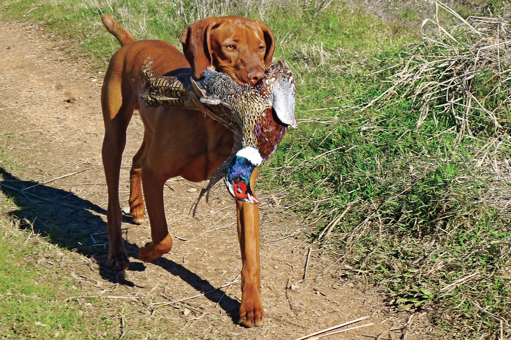 //www.gundogmag.com/files/puppies-gun-dogs-2014-puppy-gallery/vizsla_cooper_14.jpg