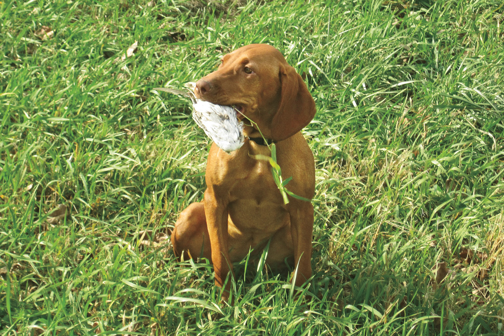 //www.gundogmag.com/files/puppies-gun-dogs-2014-puppy-gallery/vizsla_liebchen_24.jpg