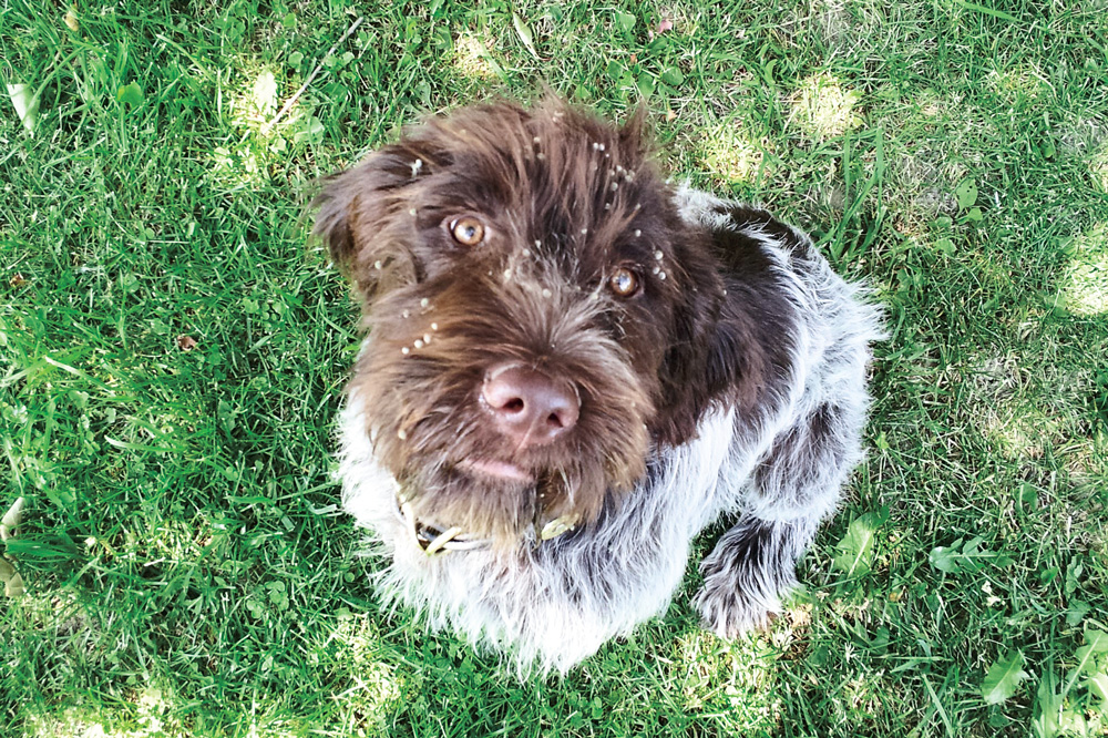 //www.gundogmag.com/files/puppies-gun-dogs-2014-puppy-gallery/wirehaired_griffon_magnum_31.jpg