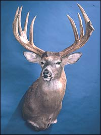 Back in 1966, a young potato farmer downed one of the most famous bucks ever shot in northern Maine. In fact, the massive deer still is the highest-scoring typical in New England history. Here's his story.