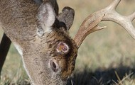 After a buck casts an antler, he is left with a pronounced scar, but the skin around the pedicel rapidly closes the wound, sometimes in as little as one week.