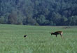 Protect Your Deer Herd From Predators