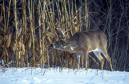 For late-season hunting during extremely cold weather, the author believes you should first locate a big buck to hunt by identifying the animal's food source. Then you should set up your stand with a minimal amount of disturbance to the woods and use a low-impact routea both to and from that stand. The colder it is outside, the better!