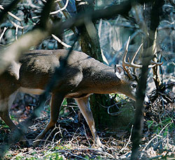 According to the author, putting the sneak on a mature buck like this requires making yourself invisible in the woods by moving very slowly, hunting the wind at all times, and putting yourself in a spot where you expect a big buck to show up.