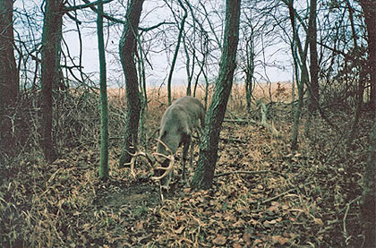 The author's trail camera captured this buck late in the 2006 season. On the day this photo was taken, the buck visited this scrape four different times during daylight hours. Don thinks the buck may gross well over 170 inches.