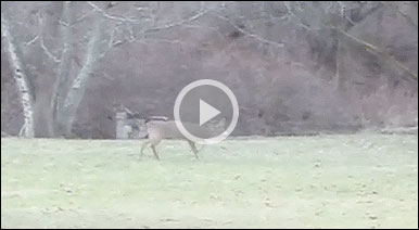 Is This Whitetail Buck To Be Blamed For Crop Circles?