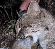 Death Grip: Bobcat Attacks Hunter's Doe