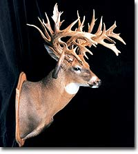 The Minnesota Monarch Buck might be the highest-scoring non-typical of all time. But even if he