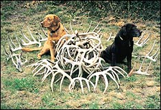 After more than a decade of using my Labrador retrievers to help me find whitetail sheds, I can