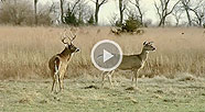 VIDEO: Whitetail Mating Observations