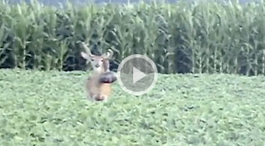 This most unusual velvet deformed buck was dubbed