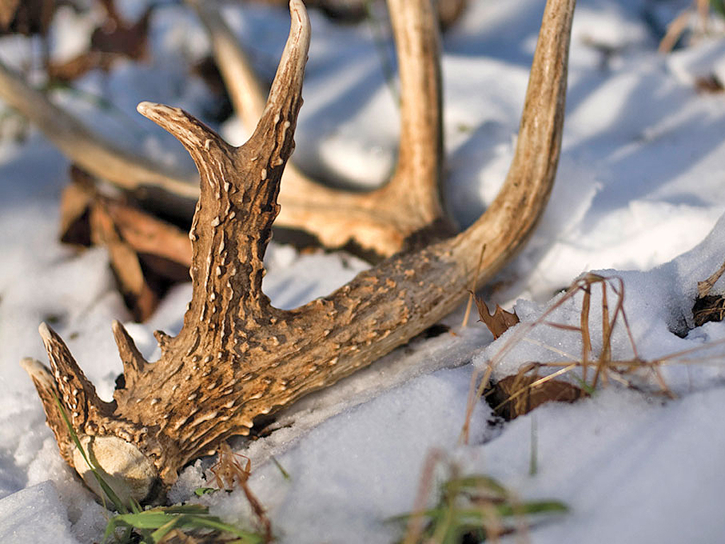 If your goal is to find matched sets of shed antlers, it's critical to give the bucks in your area enough time to shed both of their antlers before you begin disturbing their bedding and feeding areas. Photo by John Hafner/windigoimages.com.