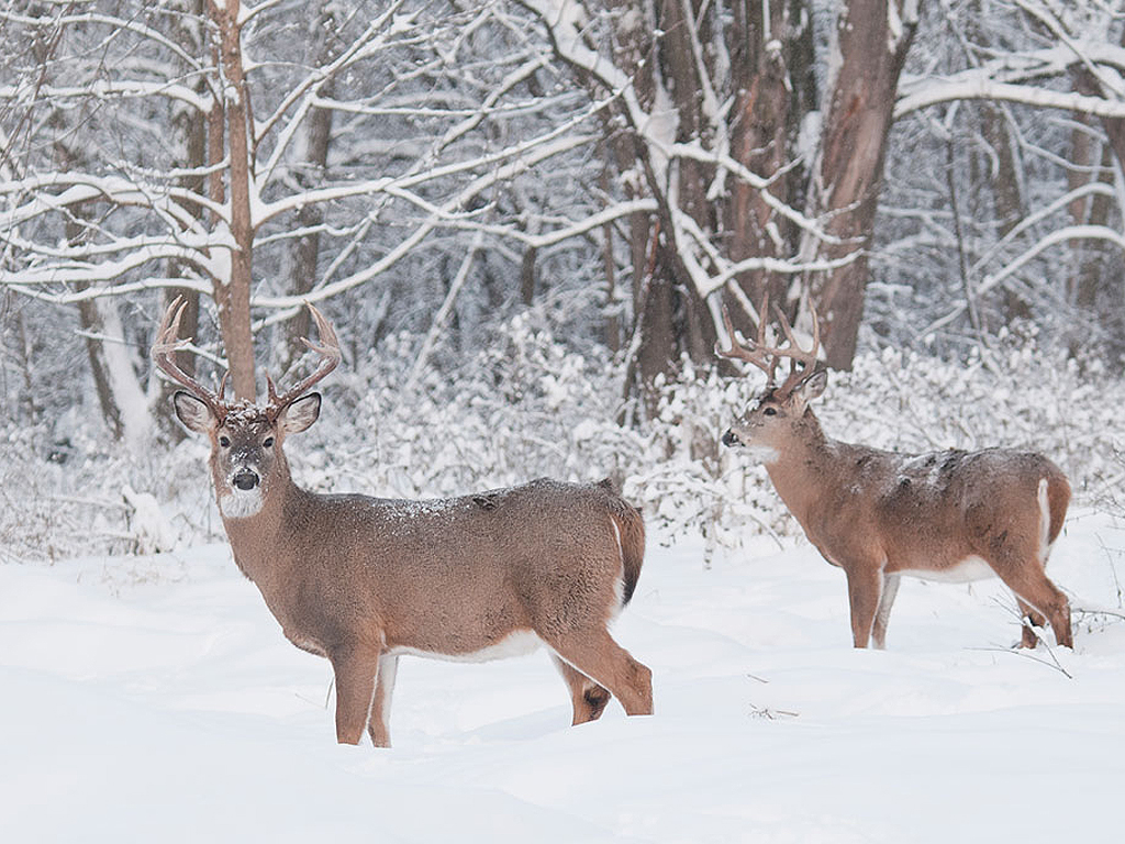 With the rut in the rearview mirror and the temperatures dropping, late-season bucks are likely to be moving in groups again and focusing much of their effort on restoring fat reserves spent during the breeding season. Photo by John Pennoyer/windigoimages.com.