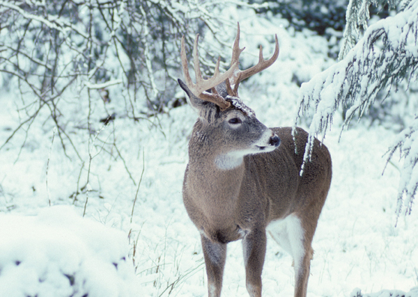 Whitetail Management in Extreme Habitat Conditions