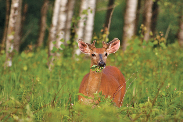 Just like humans, whitetail deer need a well-rounded diet throughout the year. During different seasons, the nutritional requirements of bucks, does and fawns will vary slightly, but all three need water, protein, energy (fats and carbohydrates), calcium, phosphorus, sodium and fiber.