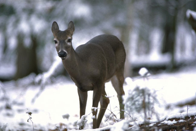 nutrition for whitetail deer