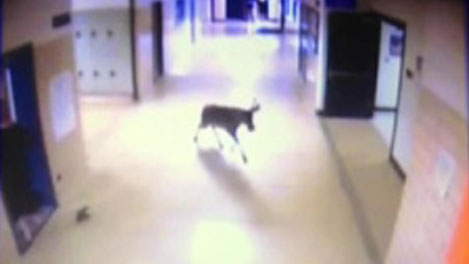 Deer in School Sends Students Scampering