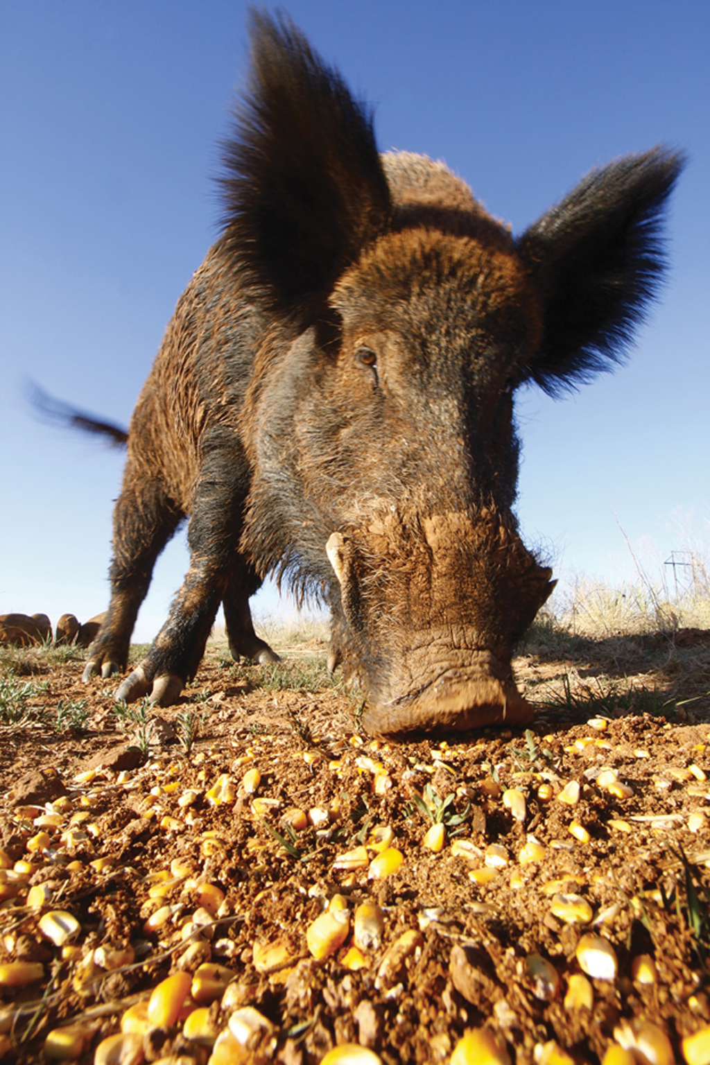 Understanding the behavior and biology of wild hogs could help you to minimize their impact on your land and the whitetails that inhabit it.