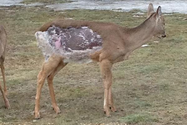 Minnesota DNR Examines Possible Case of Deer Mange - North ...