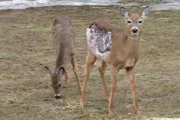 Minnesota DNR Examines Possible Case of Deer Mange