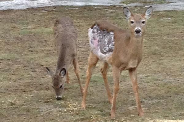 Minnesota DNR Examines Possible Case of Deer Mange