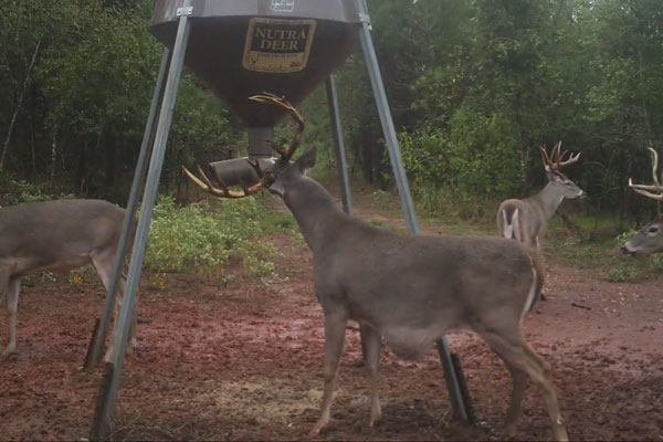 Muzzy Moment: The Belly Bulge Buck