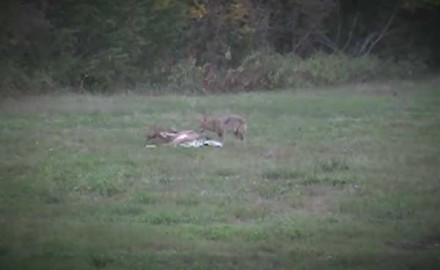 We're all well aware of the effects of coyote predation on the whitetail population. However, we
