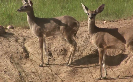 Dr. James Kroll dispells a few myths about whitetail fawns.
