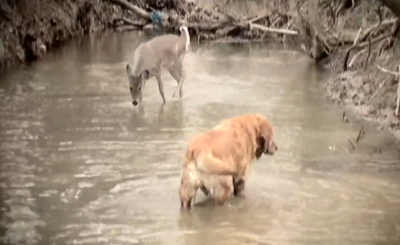 A golden retriever and a young doe strike up a playful relationship at a watering hole.