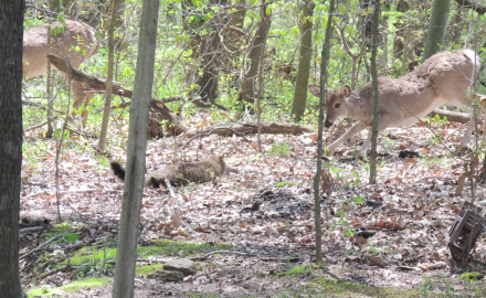 A feline in Illinois gets defensive with a whitetail moving in on its territory.