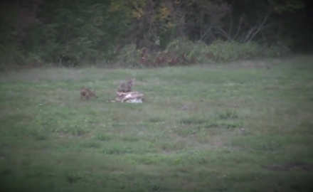 A Kansas bowhunter arrows a doe only to have a couple of nearby coyotes looking for an easy meal.