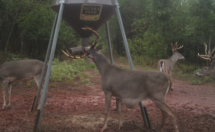 Dr. James Kroll discovers a dominant buck on his trail cam who has a mysterious buldge on his belly.